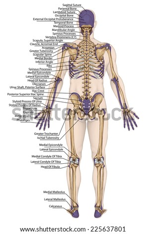 anatomical body, human skeleton, anatomy of human bony system, body surface contour and palpable bony prominences of the trunk and upper and lower limbs, posterior view, full body