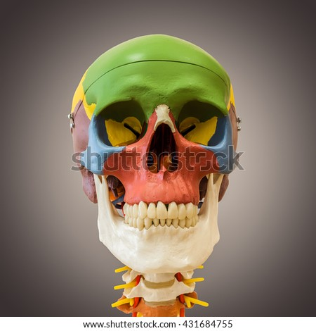anatomical dummy skull - stock photo
