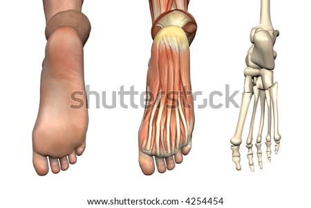 Anatomical Overlays - Bottom of the Foot - These images will line up exactly, and can be used to study anatomy. 3D Render - stock photo