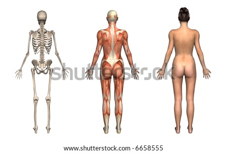 Anatomical overlays, female, back view. These images will line up exactly, and can be used to study anatomy. 3D render. - stock photo