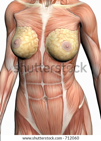 Anatomically correct medical model of the human body, a woman with muscles showing.  3D illustration, render over white. View on torso from front. - stock photo