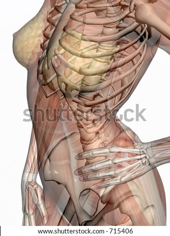 Anatomically correct medical model of the human body, women, muscles and ligaments showing transparent and skeleton projected into the body. 3D illustration over white. Right view on torso.