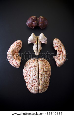 anatomically  model of the human brain on black background - stock photo