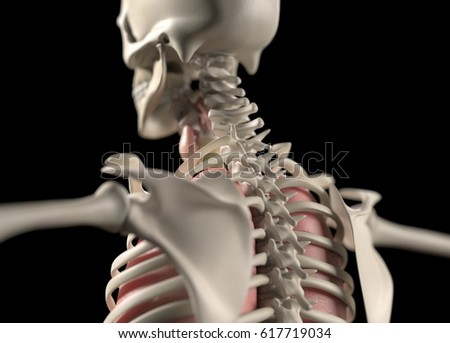 Anatomy Body Human Spine Neck Shoulder Stock Illustration 617719034