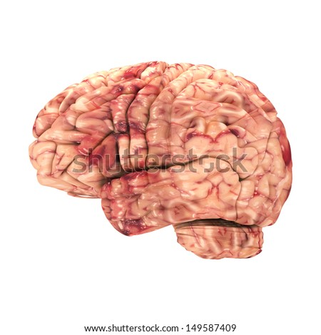 Anatomy Brain - Side View Isolated on White - stock photo