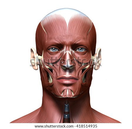 anatomy 3d head model with face muscles - stock photo