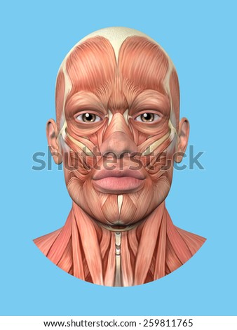 Anatomy front view of major face muscles of a man including occipitofrontalis, procerus, masseter, orbicularis, zygomaticus, buccinator and cranial aponeurosis.
