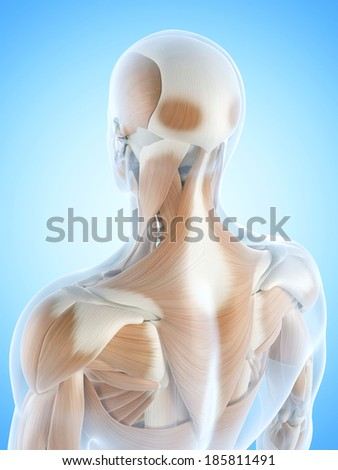 anatomy illustration showing the back muscles - stock photo