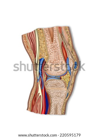anatomy knee - stock photo