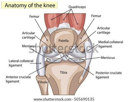 knee anatomy stock images, royalty-free images & vectors, Cephalic Vein