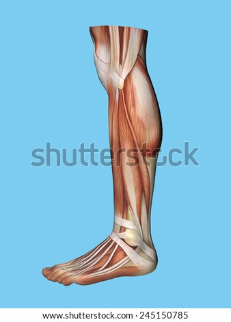 Anatomy lateral side view of leg and foot of a man including extensor digitorum brevis, achilles tendon, calf muscle, gastrocnemius muscle,soleus, peroneus longus and tendon tibalis anterior. - stock photo