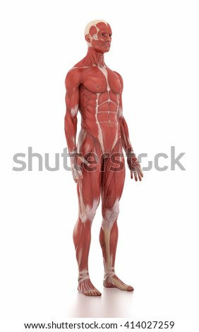 Anatomy muscle map white isolated - anatomy position - stock photo