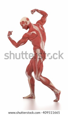 Anatomy muscle map white isolated -body-building pose