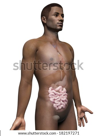 anatomy of an african american man - small intestine