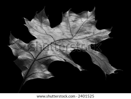 Anatomy of an Oak Leaf - stock photo