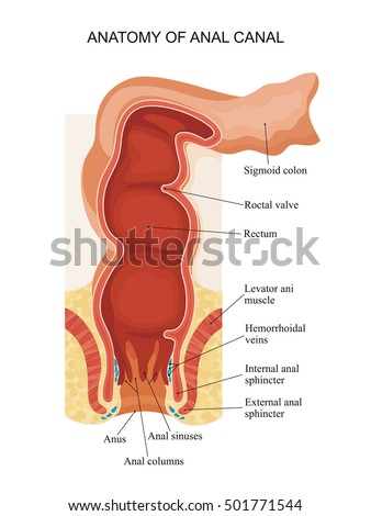 Anatomy Anal Canal Stock Illustration 501771544 Shutterstock
