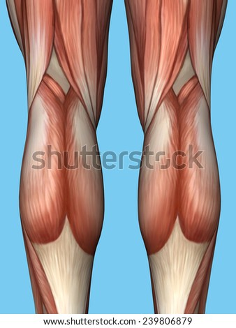 quadriceps stock images, royalty-free images & vectors | shutterstock, Muscles