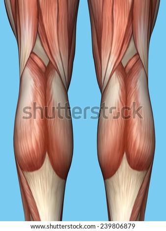 Anatomy of back of leg featuring quadriceps, hamstrings, achilles tendon, gastrocnemius, peroneus longus muscle, biceps femoris, semimembranosus and soleus muscles.  - stock photo