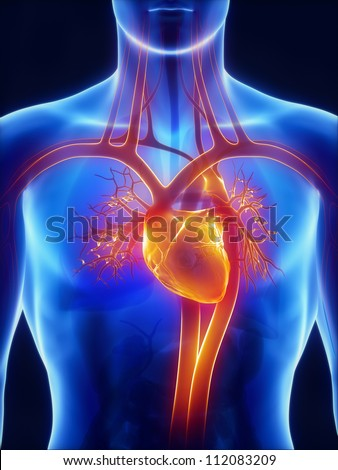 Anatomy of circulatory system - stock photo