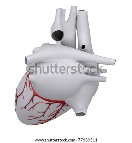 Anatomy of human heart - stock photo