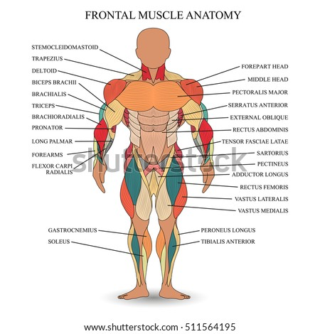 Anatomy of human muscles in the front, a template for medical tutorial, banner, illustration.