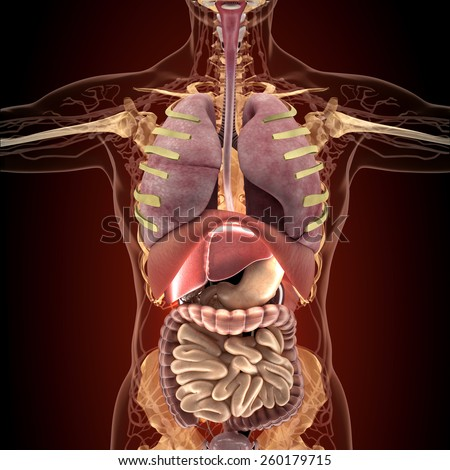 Anatomy of human organs in x-ray view. High resolution. - stock photo