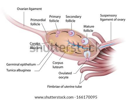 Anatomy of human ovary labeled - stock photo