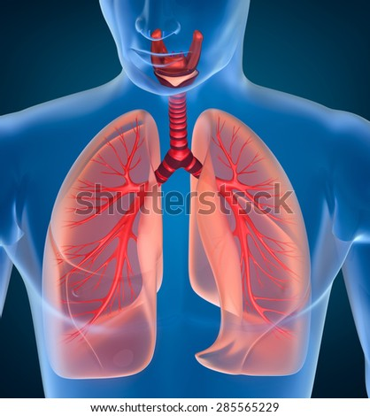 Anatomy of human respiratory system - stock photo