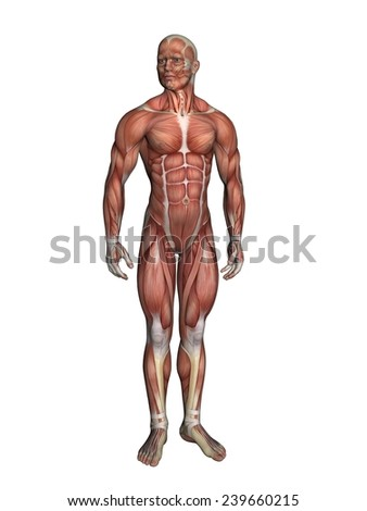 Anatomy of male figure featuring major muscular groups such as deltoids, triceps, biceps, quadriceps, hamstrings and obliques.  - stock photo