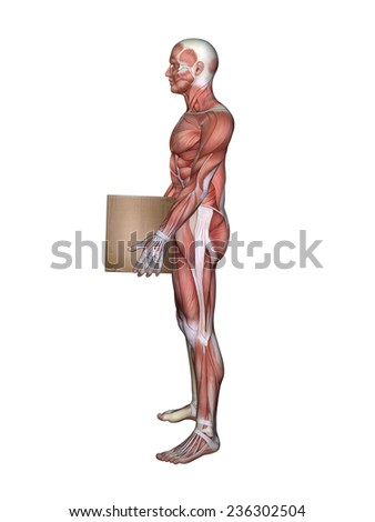 Anatomy Male Lifting Box Featuring Male Stock Illustration 236302504 ...