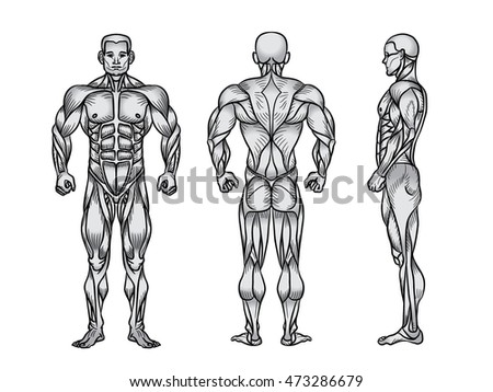 Anatomy of male muscular system, exercise and muscle guide.