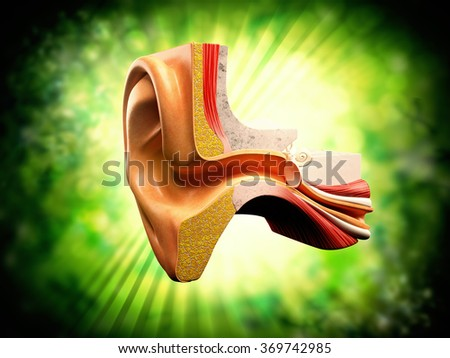 Anatomy of the ear - stock photo