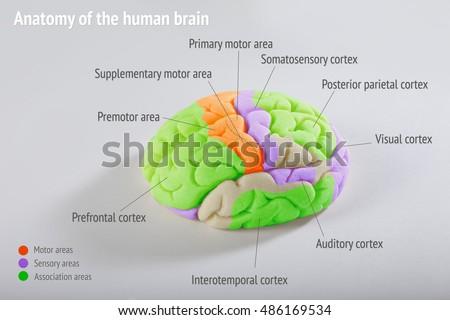 Anatomy Human Brain Areas Cerebral Cortex Stock Photo (Download Now ...