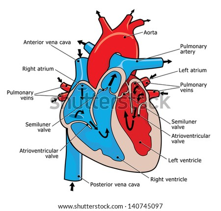 anatomy human heart stock illustration 140745097 - shutterstock, Muscles