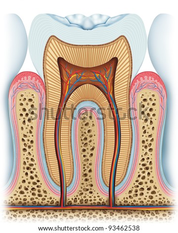 anatomy of the tooth - stock photo