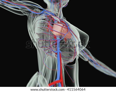 Anatomy Torso Xray View Vascular System Stock Illustration 411564064 ...