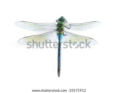 Anax imperator (female) Blue Emperor - stock photo