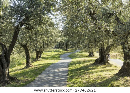 Anchiano, district of Vinci, landscape with olive trees, Tuscany, Italy - stock photo