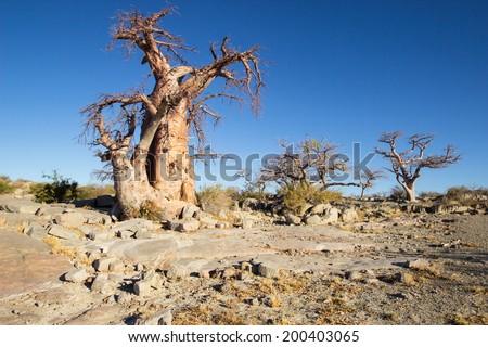 ancient Baobab tree of Kubu island in the desert of Sowa and Makgadikgadi Pan, Botswana, Africa - stock photo