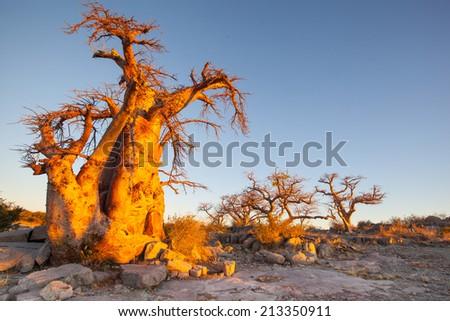 ancient baobab trees of Kubu Island glowing at sunset, Botswana; Africa - stock photo