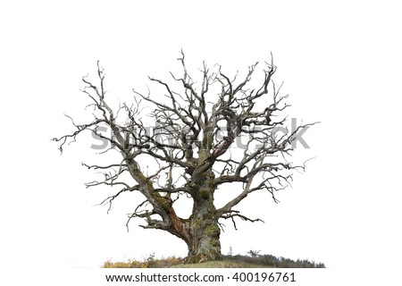 ancient bare oak tree isolated on white - stock photo
