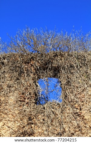 ancient castle wall window invaded by dried climbing plants - stock photo