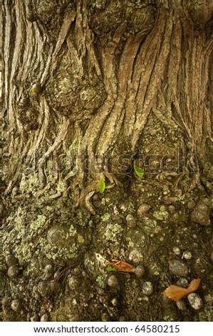 ancient chestnut tree deatail - stock photo
