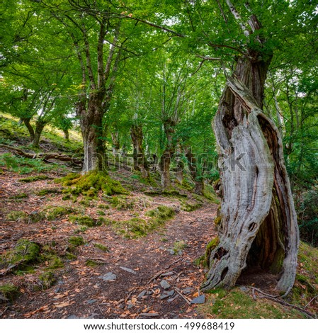 Ancient chestnut trees forest