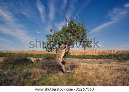 Ancient Cottonwood tree on flood plain with river bank in background.  Canadian Prairie - stock photo