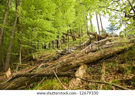 ancient forest in the springtime - stock photo