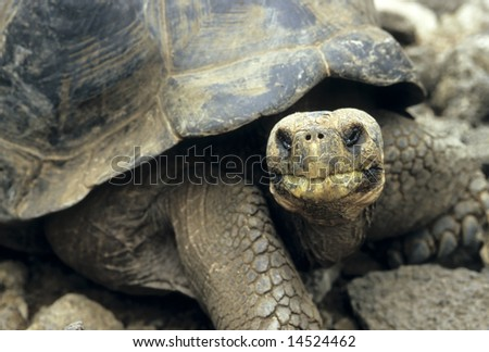 Ancient Galapagos Island Tortoise - stock photo