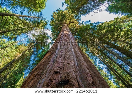 Ancient Giant Sequoias Forest in California, United States. Sequoia National Park, CA, USA. - stock photo
