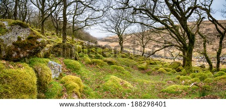 Ancient gnarled and stunted oak tree trunks growing out of mossy boulders in the famous Wistman's Wood a remote high altitude oakwood and a national nature reserve on Dartmoor National Park in Devon - stock photo