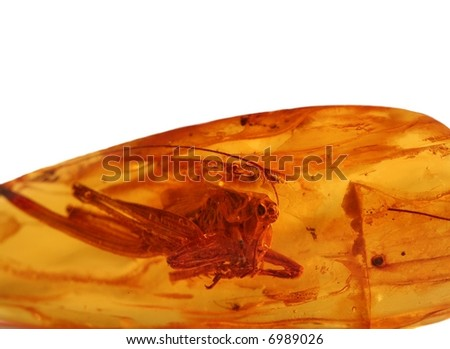 Ancient grasshopper for amber